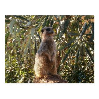 Meerkat_Guard,_ Postcard