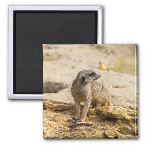 Meerkat Iman