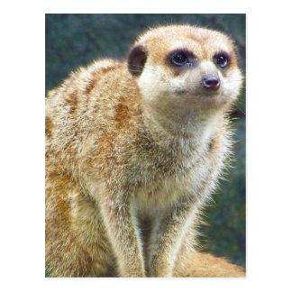 Meerkat lindo en la atención, parque zoológico de postal