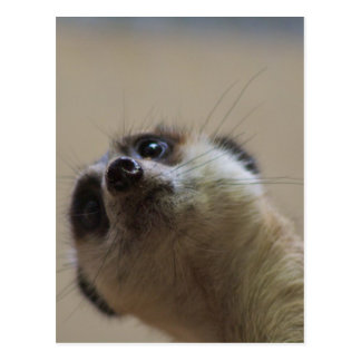 Meerkat Looking Dramatic Postcard
