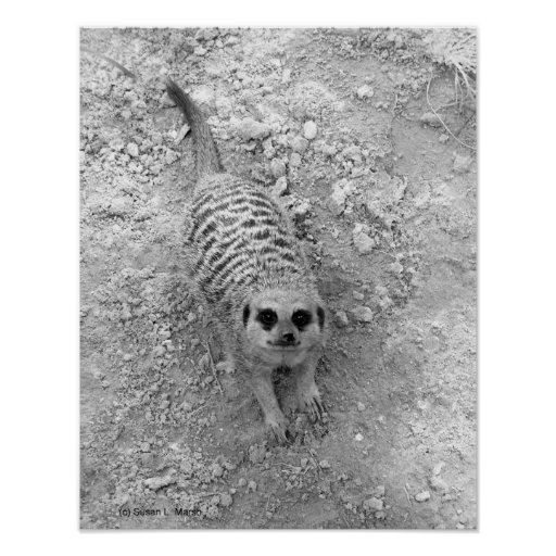 Meerkat looking up from ground photograph pic poster