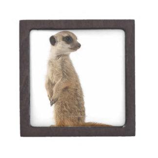 Meerkat o Suricate - suricatta del Suricata Caja De Joyas De Calidad