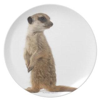 Meerkat o Suricate - suricatta del Suricata Plato De Cena
