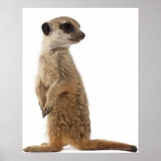Meerkat o Suricate - suricatta del Suricata Póster
