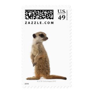 Meerkat o Suricate - suricatta del Suricata Sellos