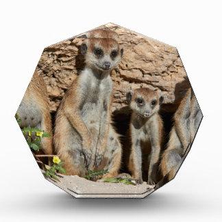 meerkat o suricate, suricatta Kalahari del Suricat