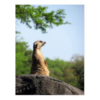 Meerkat on the Lookout Postcard