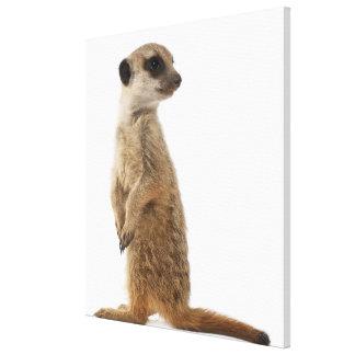 Meerkat or Suricate - Suricata suricatta Canvas Print