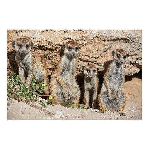 meerkat or suricate, Suricata suricatta Kalahari Photographic Print