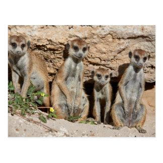 meerkat or suricate, Suricata suricatta Kalahari Postcard