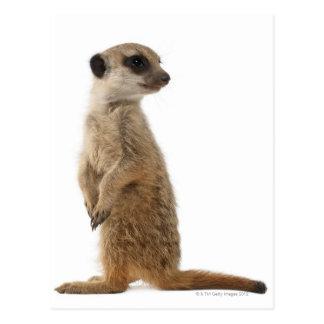 Meerkat or Suricate - Suricata suricatta Postcard