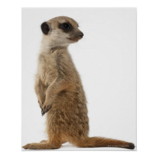 Meerkat or Suricate - Suricata suricatta Poster