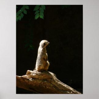 meerkat - photography print