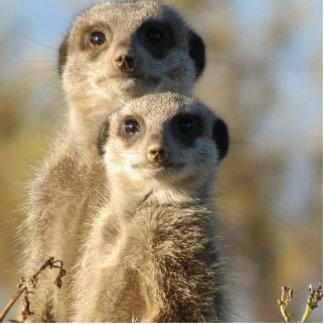 Meerkat Photo Cut Out