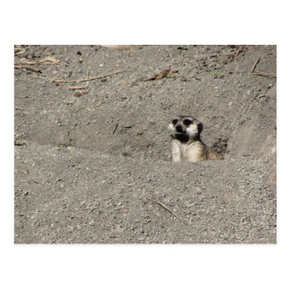 Meerkat popping out photograph postcard