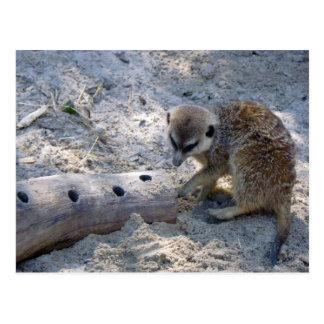 Meerkat Post Card