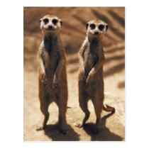 Meerkat postards postcard