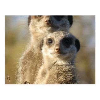 Meerkat Postcards