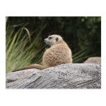 postcard, meerkat, animals, photograph, timon,