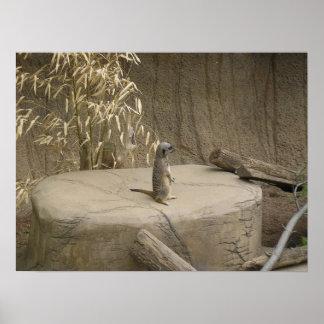 Meerkat Print
