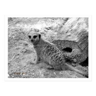 Meerkat que mira la imagen del photogarph del postales
