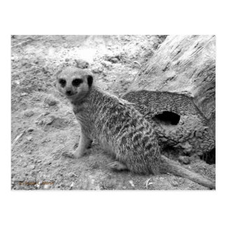 Meerkat que mira la imagen del photogarph del postal