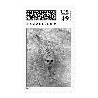Meerkat que mira para arriba de imagen de la sellos