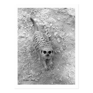Meerkat que mira para arriba de imagen de la tarjeta postal
