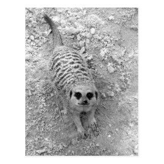 Meerkat que mira para arriba de imagen de la postal