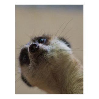 Meerkat que parece dramático tarjeta postal