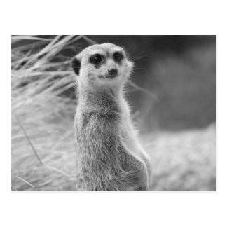 """Meerkat solitario "" Postales"