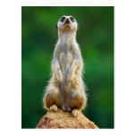 Meerkat standing guard post card