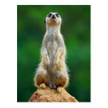 Meerkat standing guard postcard