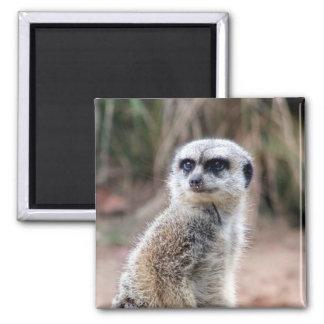 meerkat stare 2 inch square magnet