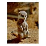 Meerkat Style Postcard