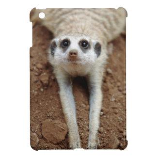 Meerkat (Suricata Suricatta) que se refresca abajo