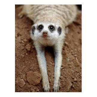 Meerkat (Suricata Suricatta) que se refresca abajo Postal