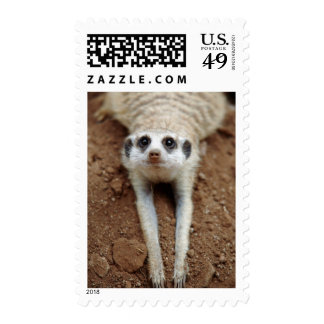 Meerkat (Suricata Suricatta) que se refresca abajo Franqueo