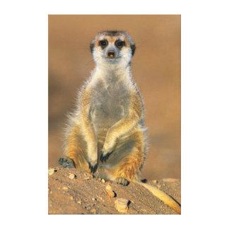 Meerkat (Suricata Suricatta) Sentinel At Den Canvas Print