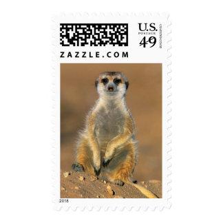 Meerkat (Suricata Suricatta) Sentinel At Den Stamp