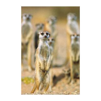 Meerkat (Suricata Suricatta) Sentinels, Karas 2 Canvas Print