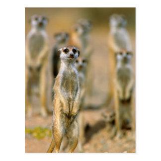 Meerkat (Suricata Suricatta) Sentinels, Karas 2 Postcard