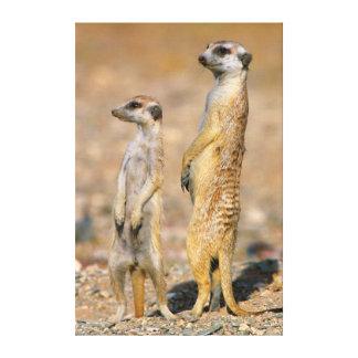 Meerkat (Suricata Suricatta) Sentinels, Karas Canvas Print