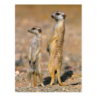 Meerkat (Suricata Suricatta) Sentinels, Karas Postcard