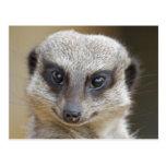 Meerkat Up Close Postcard