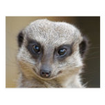 Meerkat Up Close Postcards