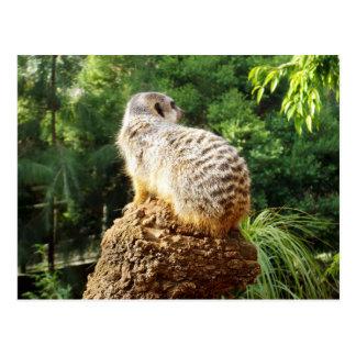 Meerkat With High Views, Postcard