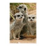 Meerkats en el puesto de observación papelería de diseño