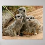 Meerkats en el puesto de observación poster