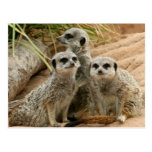 Meerkats on the lookout post cards